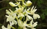 рядък вид орхидея в родопите