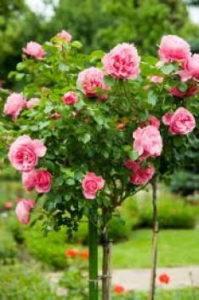 отглеждане на рози