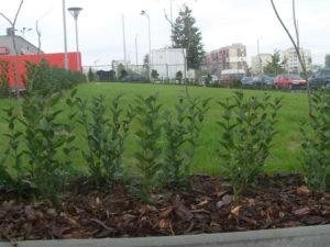 Озеленяване заведение KFC Люлин [28]