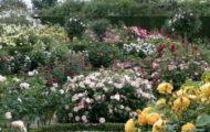 видове рози
